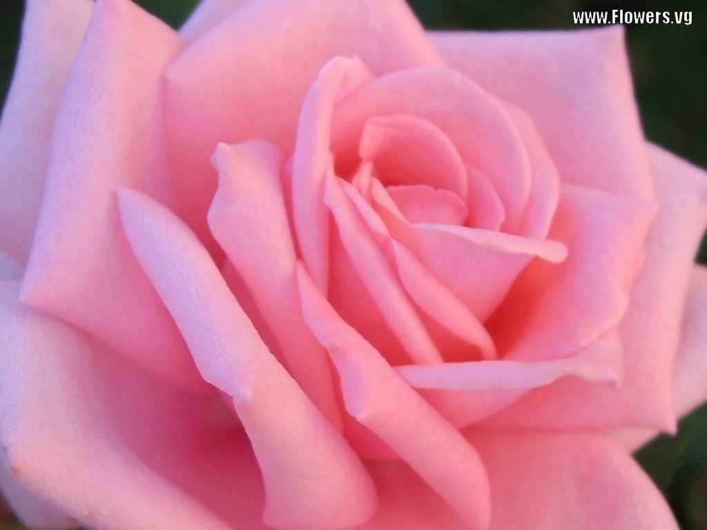 pink rose in - photo #11