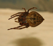 I have lots of my very favourite spiders, the black house spiders (Badumna .