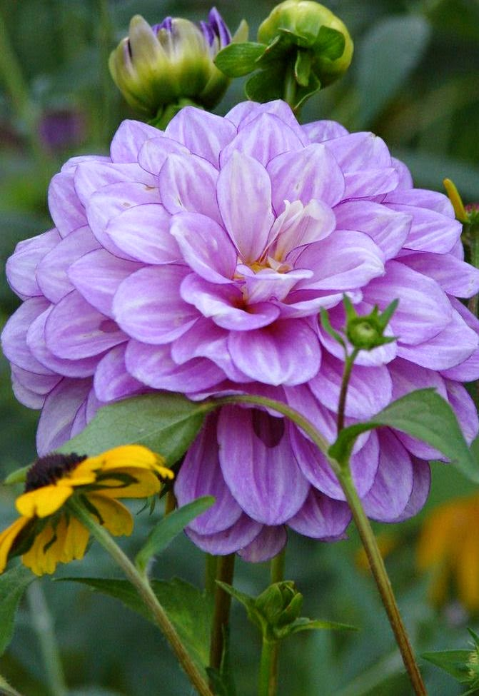 Purple dahlia stunning nature for Portent of betrayal