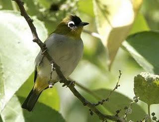 ini beberapa gambar burung pleci . Burung pleci adalah
