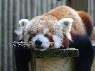 funniest-red-panda-pictures