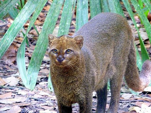 Texas Invasive Species Cat