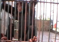 chimp urinating problem solving