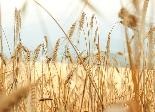 Getreidefeld in den Marken