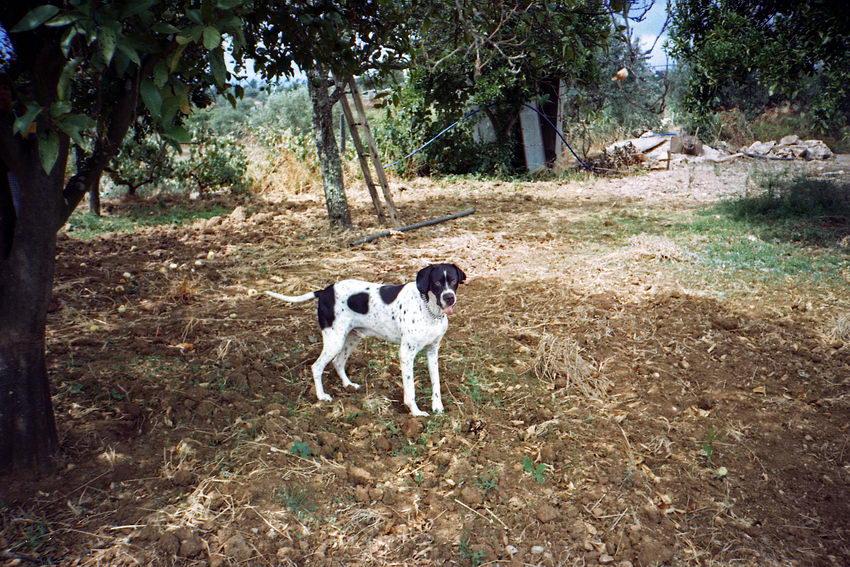 Foto de um cão da raça Pointer, branco com malhas pretas num campo