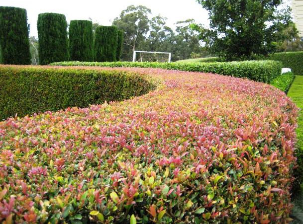 Lilly Pilly Backyard Bliss Bunnings : Best Red Hedge Lilly Pillys
