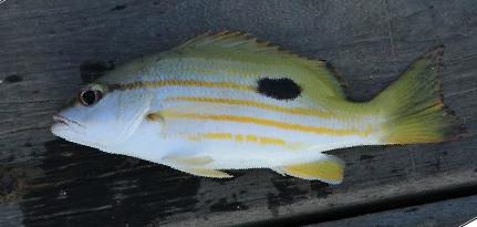 Ikan Tanda