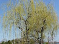高野川沿いの枝垂れ柳と河合橋