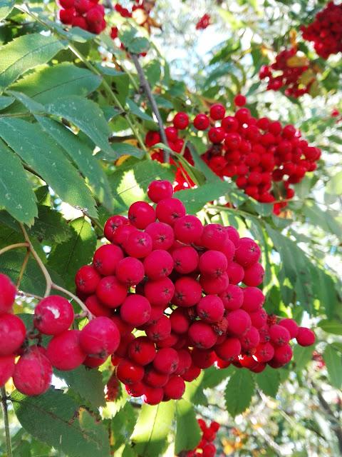 Owoce jesieni: jarzębina ♥