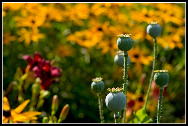 Nova Scotia; Flowers, Poppy