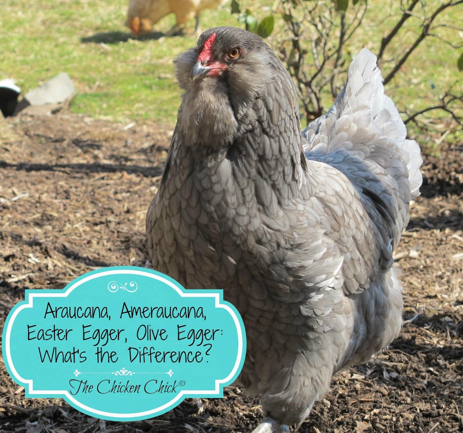 Araucana, Ameraucana or Easter Egger (Olive Egger,Rainbow ...