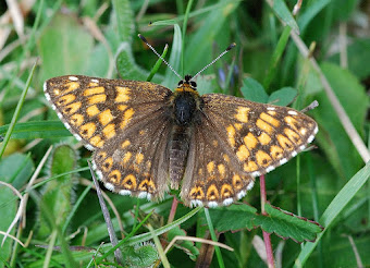 The Duke of Burgundy Fritillary