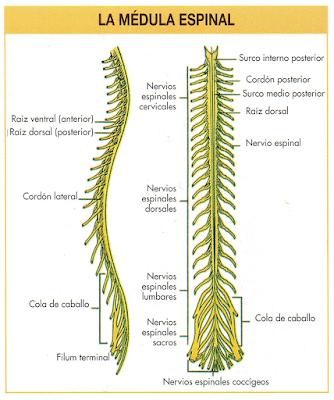 Los adultos contraen meningitis espinal