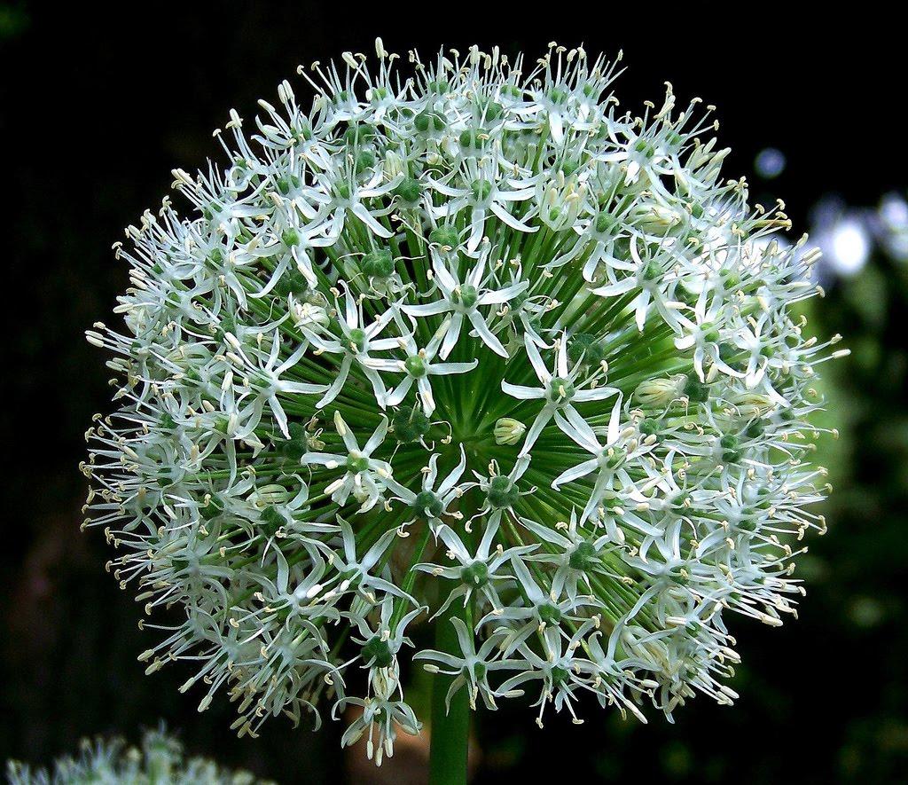 http://1.bp.blogspot.com/-NJFMJ3j7VqQ/UFhVMXPJYII/AAAAAAAAAlw/NjXXZUVjuII/s1600/Allium_Flower_Wallpapers.jpg