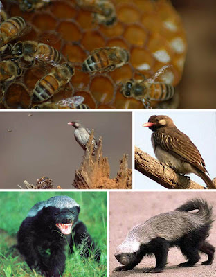 Foto Simbiosis Mutualisme Honey badger dan burung honeyguide