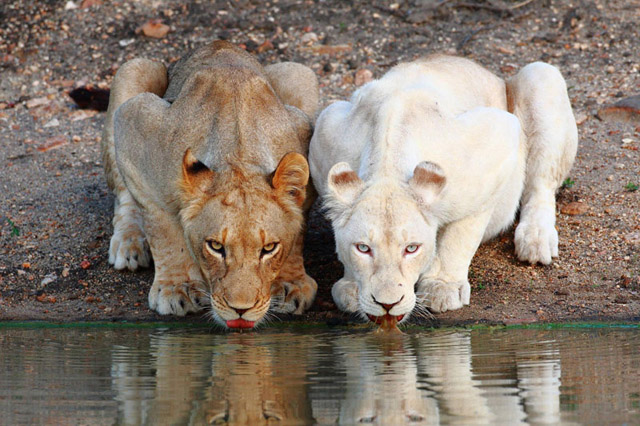 Lionesses White Lion Drinking At The Watering Hole