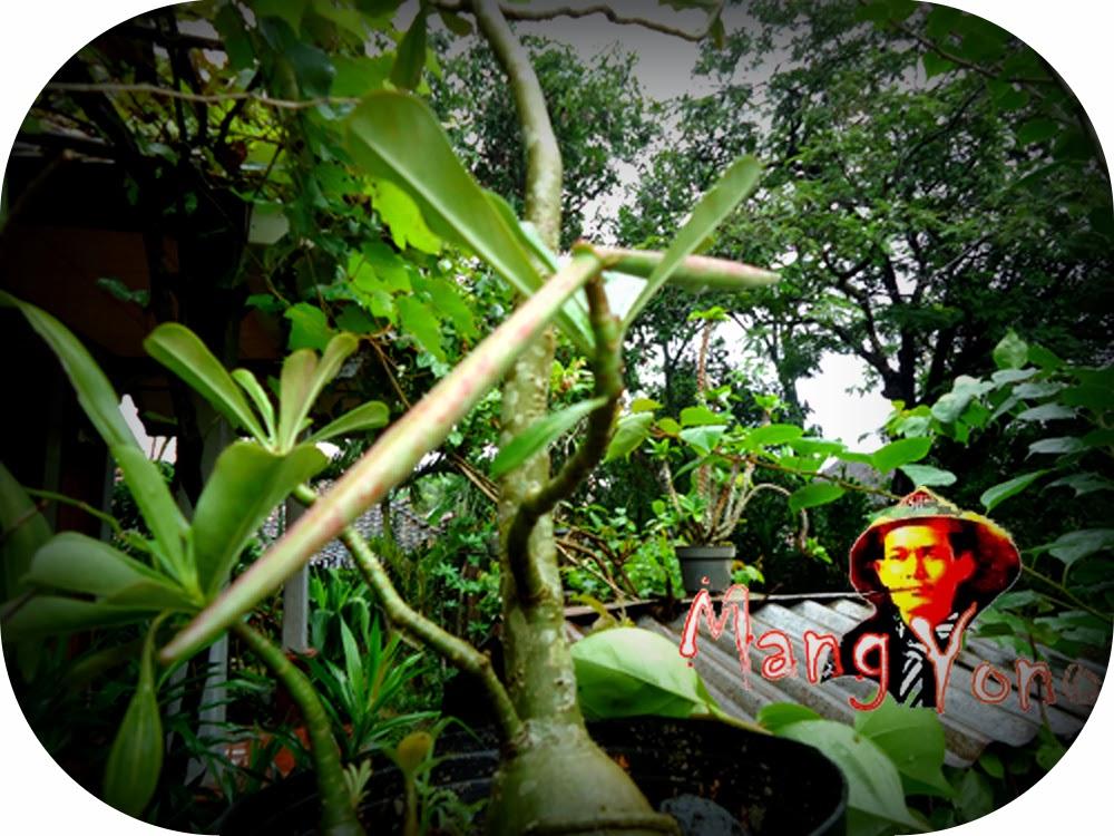 Adenium Obesum atau lebih dikenal dengan nama bunga kamboja Jepang