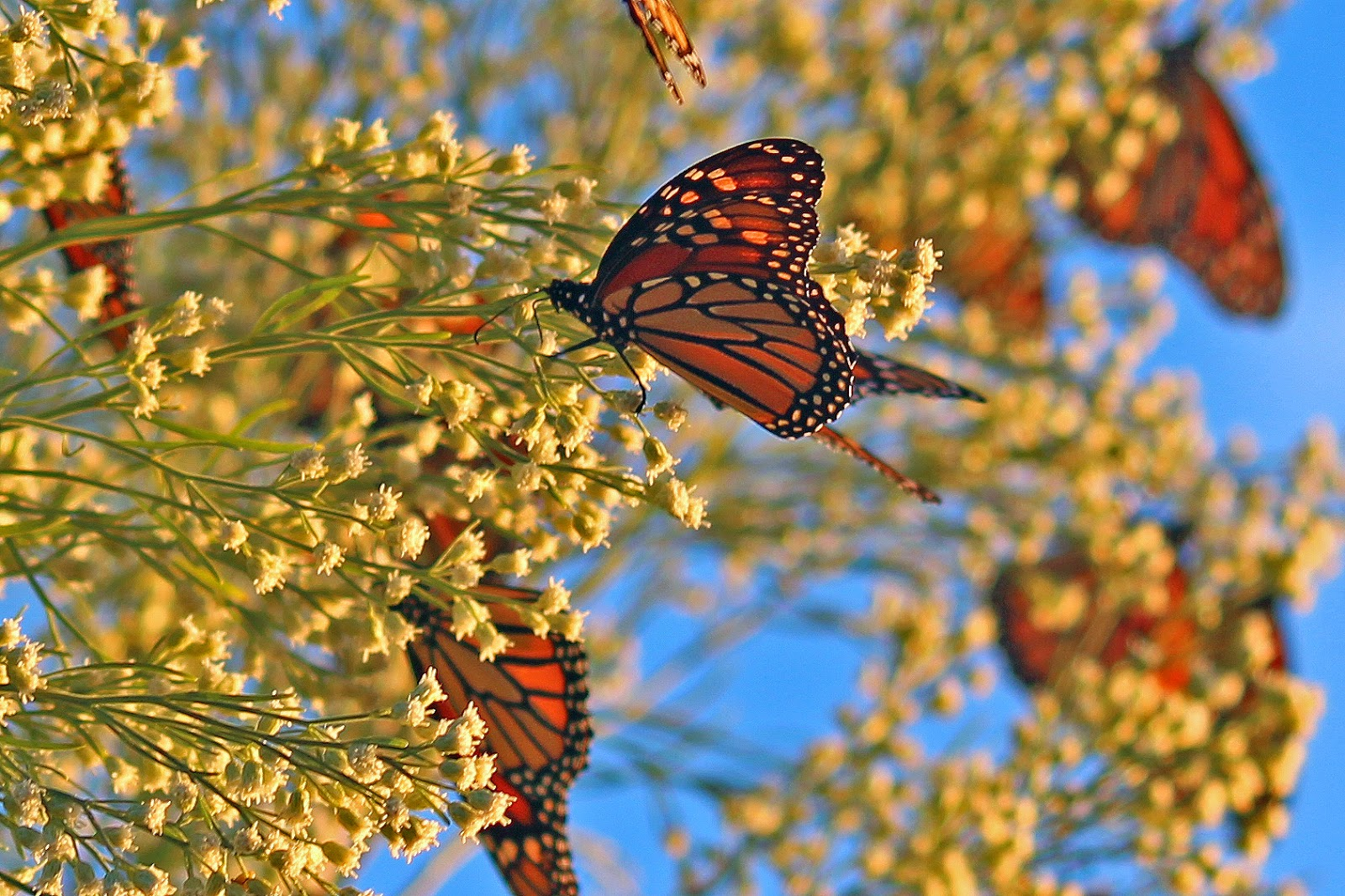 Monarch butterfly migration tree - photo#2