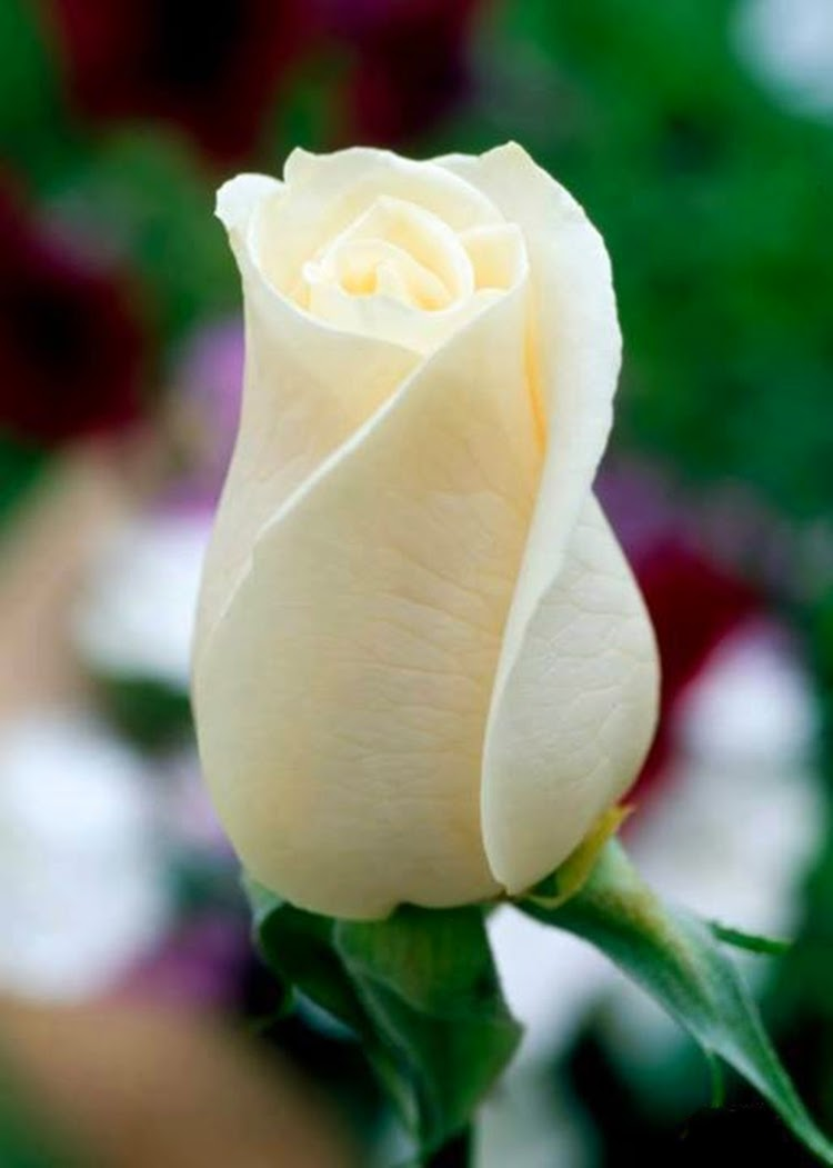 White Single Rose Image White Rose Wallpapers