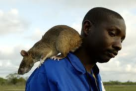 wow tikus unik segede kucing