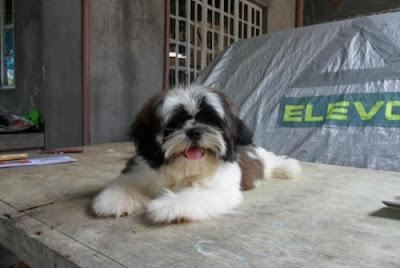 pet catalog: Shih Tzu, Poodle and Pomeranian for Sale