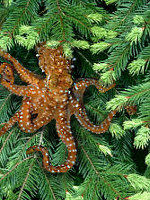 Northwestern tree octopus in pine tree