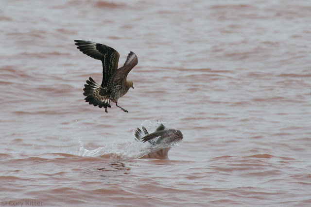Parasitic Jaeger Wisconsin Point
