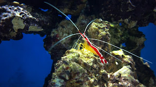 yellow and red cleaner shrimp in a reef fish tank
