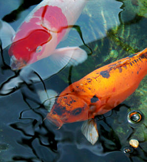Natural organic solutions from effective environmental for Koi fish environment