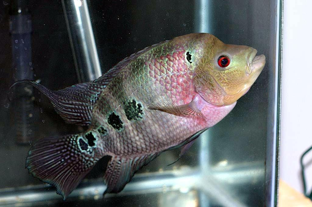how to maintain flowerhorn fish