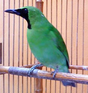 Cara Perawatan Burung Cucak Ijo