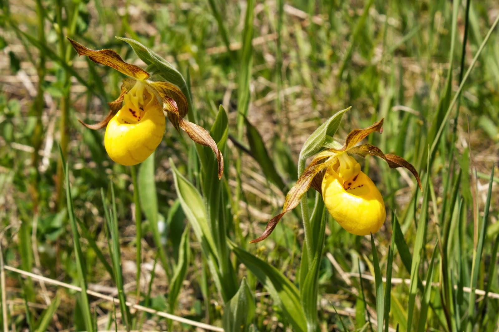 Flower Hunter Cypripedium Calceolus Orchid Yellow Lady Slipper