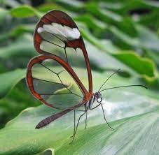 Papillon transparente