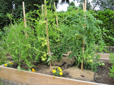 Five tomato gardening mistakes to avoid for Ideas for tomatoes from the garden