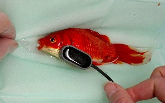 يتم تخدير السمكة