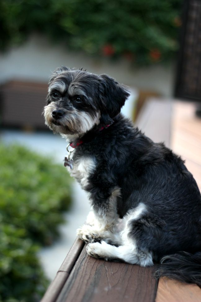 Maltese and Yorkie Dog