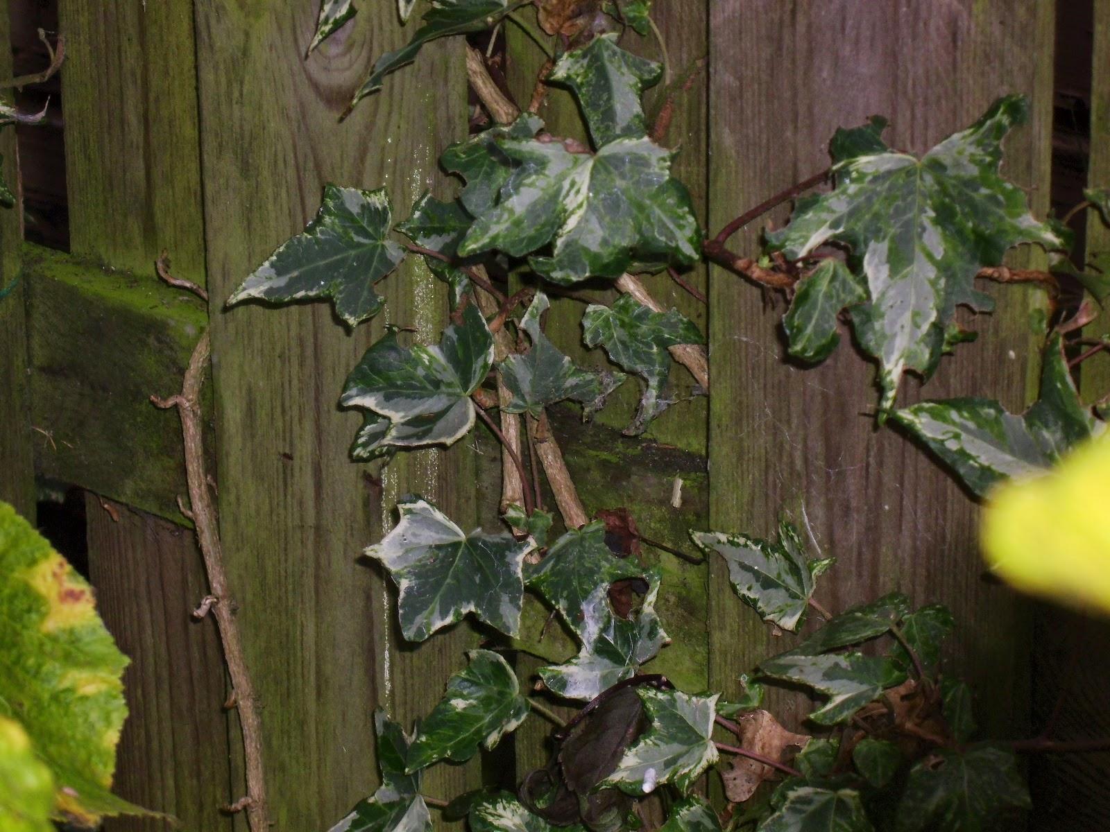 Het paradijsje van Jane: Plant #7: De klimop (Hedera)