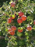 Temperatura pianeta sale e cambia sapore della frutta