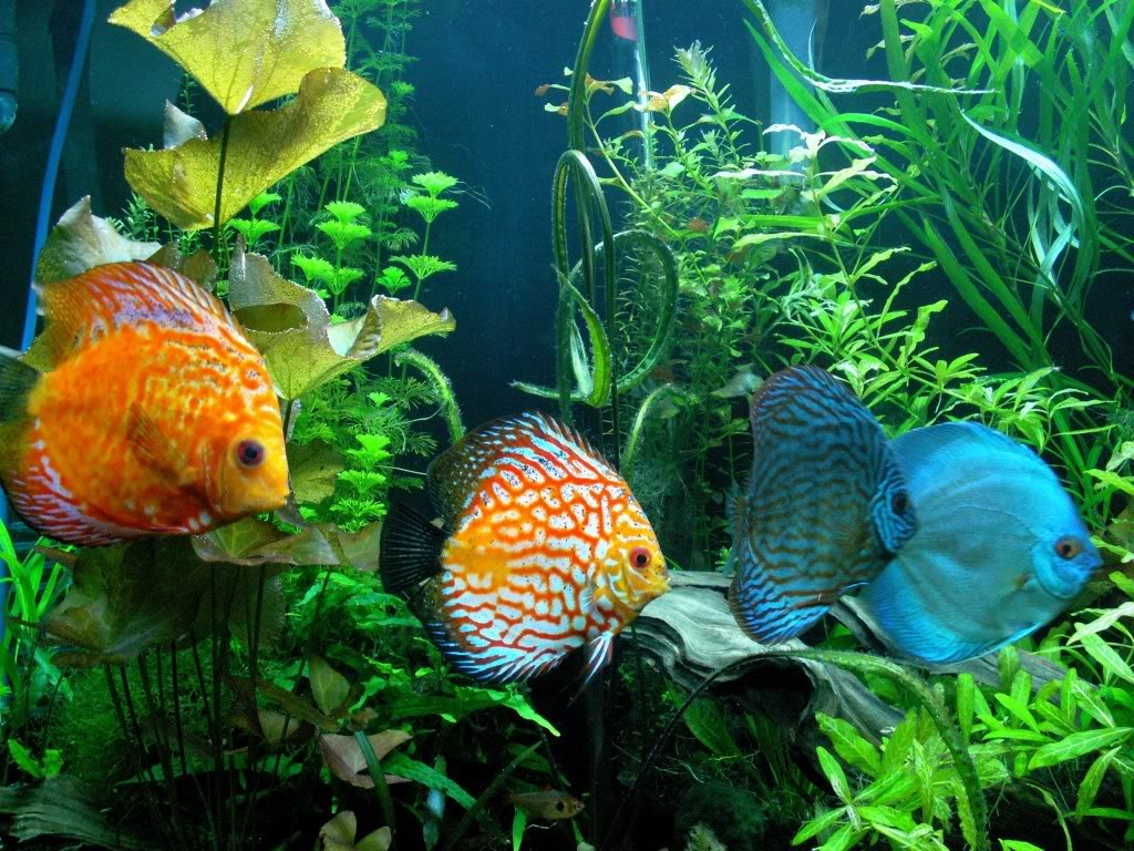 Discus for Keeping discus fish