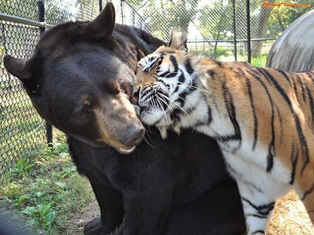 Bear fur strips opinion