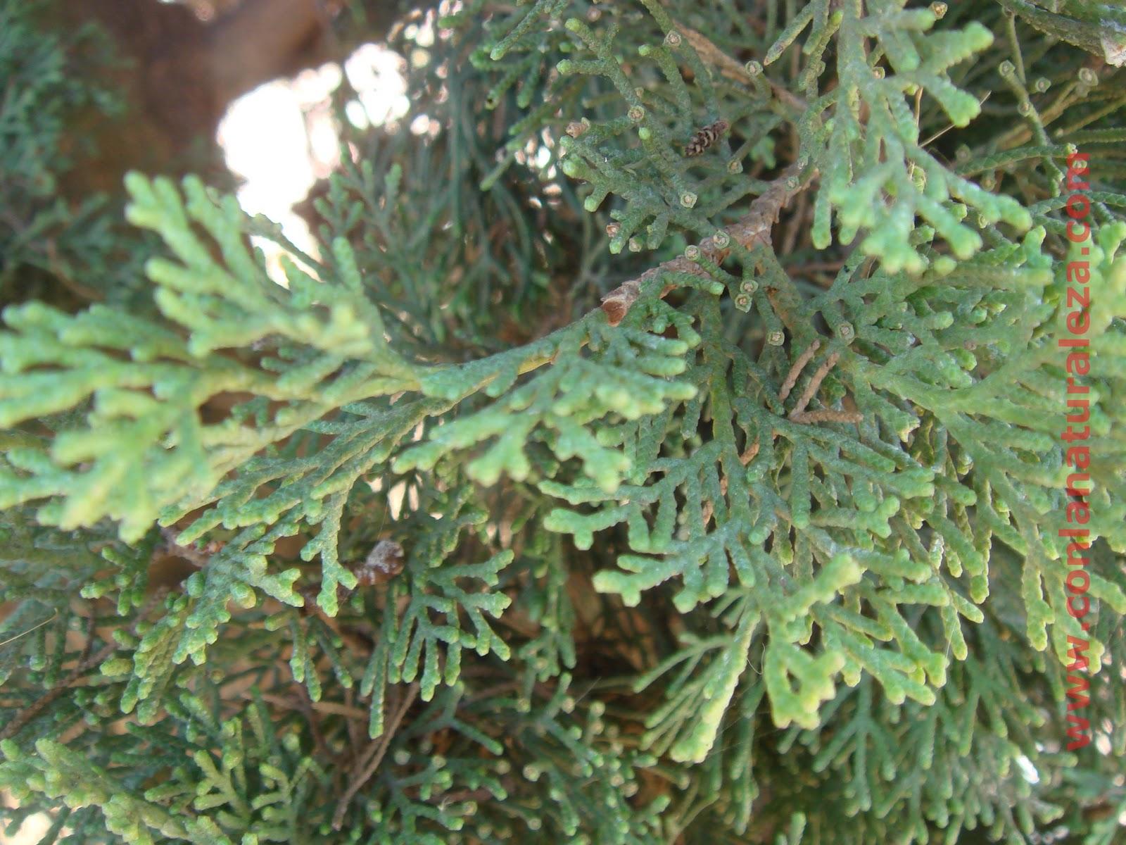 Flora urbana de getafe cipr s com n for Arbol comun