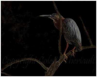 green heron bird painting in progress by wildlife artist Colette Theriault