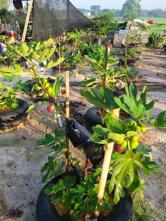 zone 10 figs