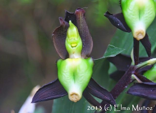 Catasetum tenebrosum. 2013 (c) Elma Muñoz