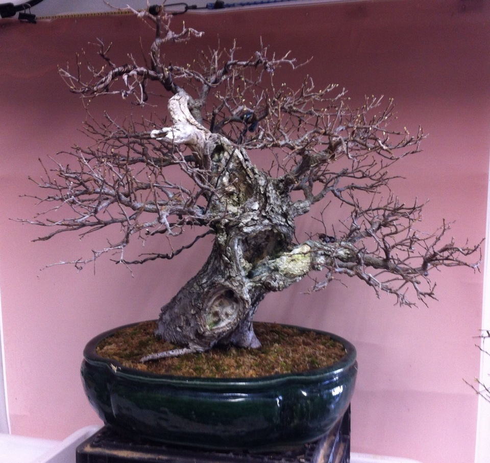 Broken Arrow Bonsai Collected Winged Elm Bonsai Development