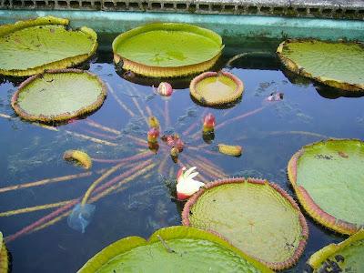 大阪府交野市・大阪市立大学 理学部付属 植物園 パラグアイオニバス