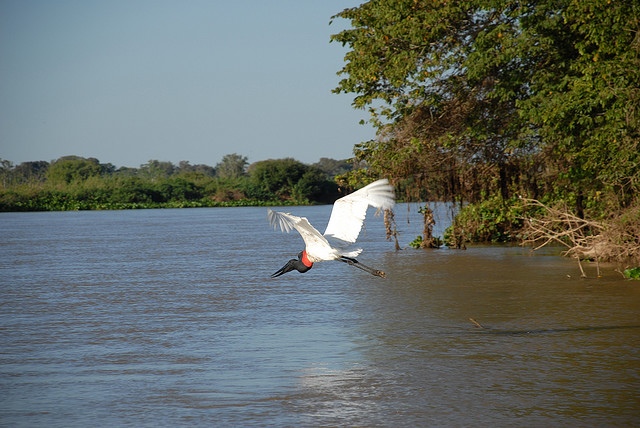 Top 10: aves do Pantanal Jaburu