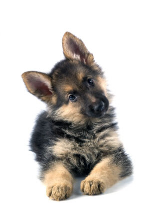 German Shepherd Puppies on Shepherd Puppy German Shepherd Puppy Cute German Shepherd Puppies