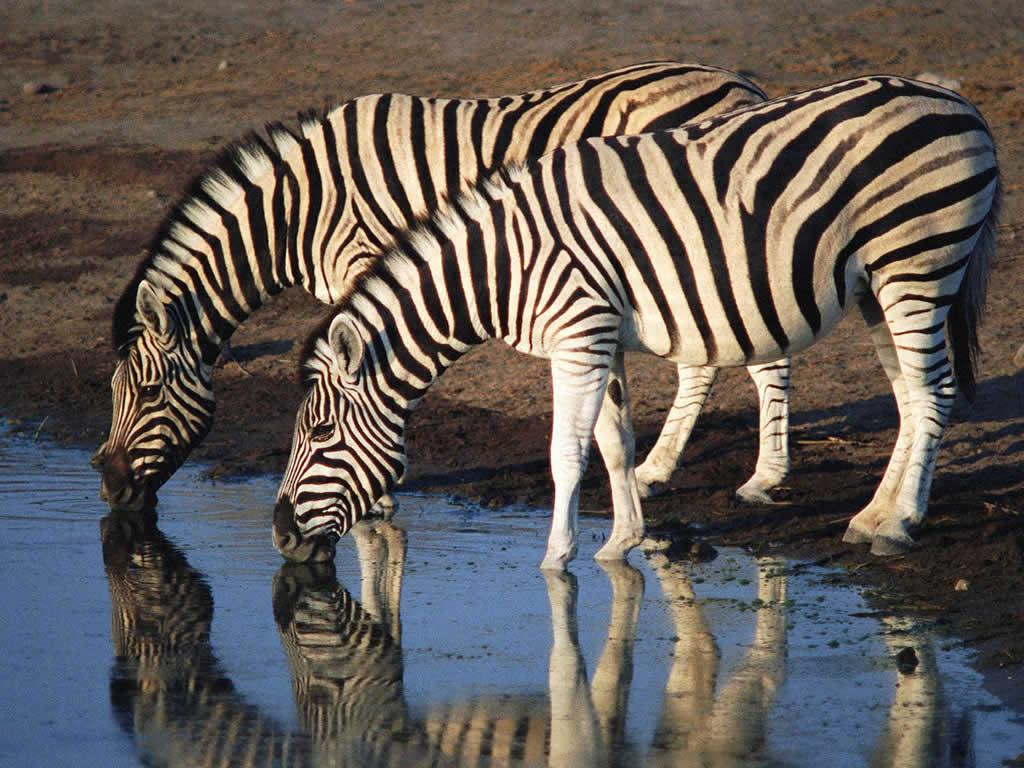 gambar kuda zebra
