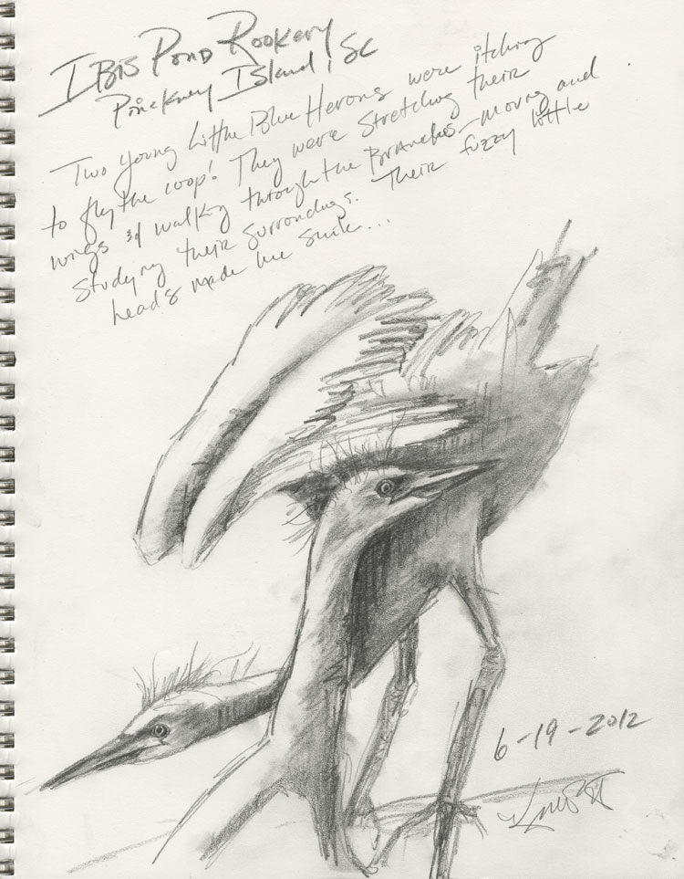 ...quick field sketches of immature Little Blue Herons still clinging to the nest site.